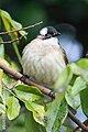 Pycnonotus sinensis (bird).jpg