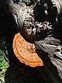 Pycnoporellus fulgens 9640149.jpg