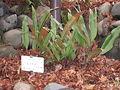 Pyrrosia lingua in Koishikawa gardens.jpg