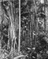 Queensland State Archives 1180 The Palm Grove showing a Fig Tree Tamborine Mountain South Queensland January 1931.png