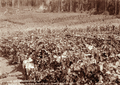 Queensland State Archives 2385 Three children grape vines and corn at Manitzkys Farm Teutoberg Blackall c 1899.png