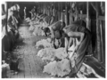 Queensland State Archives 3075 Shearing sheep Barcaldine District c 1948.png