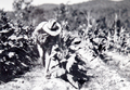 Queensland State Archives 4211 Harvesting tobacco c 1938.png