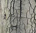 Quercus coccifera (14).JPG