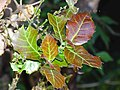 Quercus floribunda leaves 3.jpg