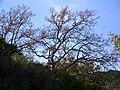 Quercus pyrenaica 2009December20 Habitus SierraMadrona.jpg