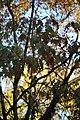 Quercus rubra (7).jpg