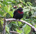 Querula purpurata - Flickr - Dick Culbert.jpg