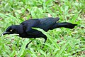 Quiscalus lugubris (Chango llanero) - Flickr - Alejandro Bayer.jpg