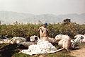 Récolte du coton à El Carmen - Pérou 04.JPG