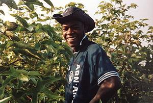 El Carmen District, Chincha - A person collecting cotton at El Carmen