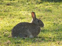 Rabbit (Oryctolagus cuniculus) (5562739802).jpg