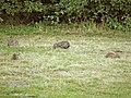 Rabbits in Trent Country Park, London, N14 - geograph.org.uk - 316845.jpg