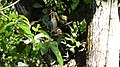 Raiding an Ant nest. Tamandur Anteater. Tamandua mexicana (40332500885).jpg