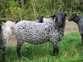 Ramlamb no. 114367-00009 (Official Danish animal register).jpg