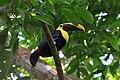 Ramphastos swainsonii -Barro Colorado Island, Panama Canal-8a.jpg