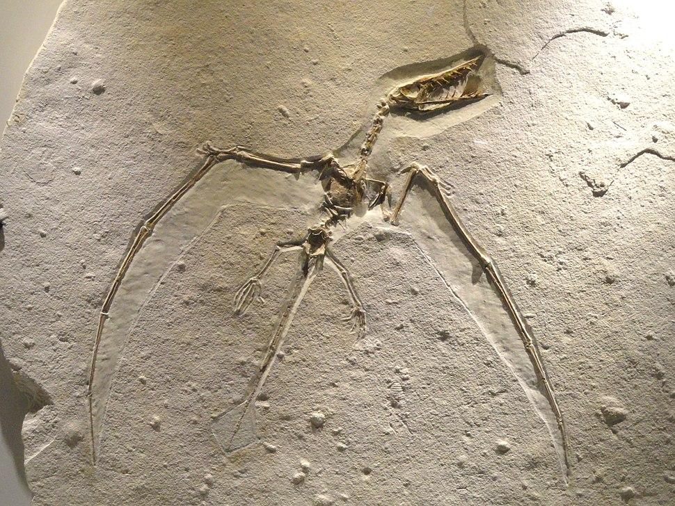 Ramphorhynchus sp., view 1, Late Late Jurassic, Tithonian Age, Solnhofen Lithographic Limestone, Eichstatt, Bavaria, Germany - Houston Museum of Natural Science - DSC01862