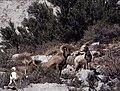 Rams, Wheeler Crest, 2007 (5507029887).jpg