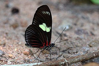 Laparus doris - Image: Rayed longwing (Laparus doris doris) underside