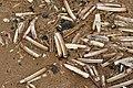 Razor shells on Crosby Beach (5483).jpg