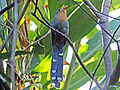 Red-billed Malkoha RWD4.jpg