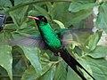 Red-billed Streamertail male Jamaica 03.jpg