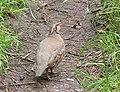 Red-legged partridge on the footpath - geograph.org.uk - 482372.jpg