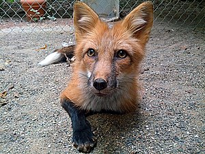 Domesticated red fox - Image: Red Color Russian domesticated Red Fox