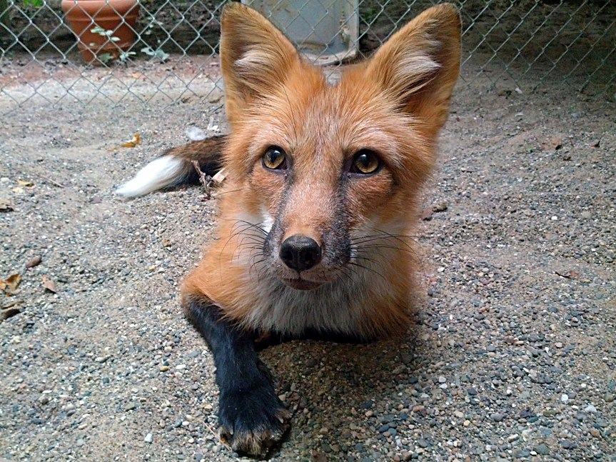 Red Color Russian domesticated Red Fox