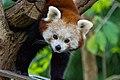 Red Panda (26773181679).jpg