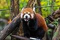 Red Panda (37832756044).jpg