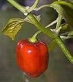 Red Savina.jpg