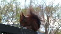 Файл:Red Squirrel in Berlin.webm