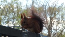 Datei:Red Squirrel in Berlin.webm