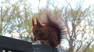 File:Red Squirrel in Berlin.webm