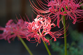 Red spider lily October 2007 Osaka Japan.jpg