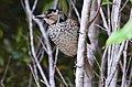 Regent Bowerbird female, Lamington National Park, Queensland DSC ;'l.jpg