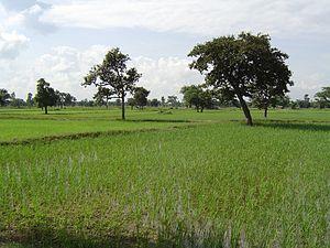 Reisfelder nahe Maha Sarakham