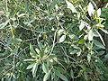 Rhamnus integrifolia.jpg