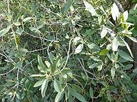 Rhamnus integrifolia
