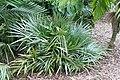 Rhapidophyllum hystrix 21zz.jpg