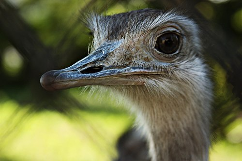 Rhea (bird) (KK).jpg