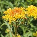 Rhodiola kirilowii-IMG 3650.jpg