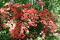 Rhododendron Bagatelle 3zz.jpg