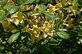 Rhododendron austrinum 14zz.jpg