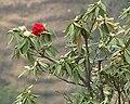 Rhododendron krish.jpg