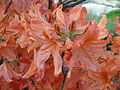 Rhododendron molle1.jpg
