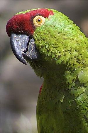 Thick-billed parrot - Adult at Edinburgh Zoo, Scotland