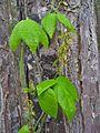 Rhynchosia phaseoloides (Sw.) DC. - Flickr - Alex Popovkin, Bahia, Brazil (11).jpg