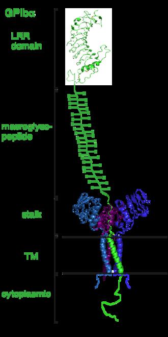 Glycoprotein Ib-IX-V Receptor Complex - A ribbon diagram depicting the various components of the GPIbα subunit.